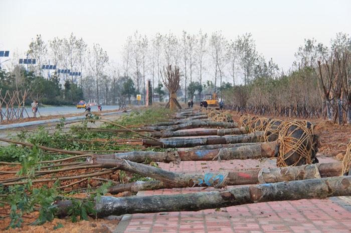 江南产业集中区凤鸣大道绿化工程